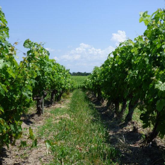 Vignobles de Médoc plein Sud