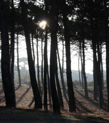 La forêt de pins du Médoc